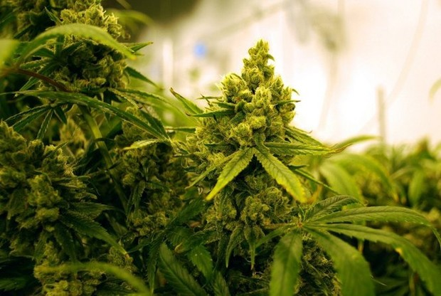 application for growing medical marijuanain alberta