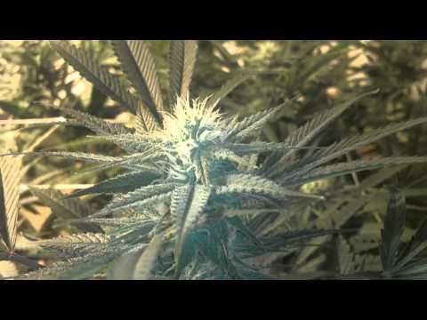 oregon medical marijuana grower application